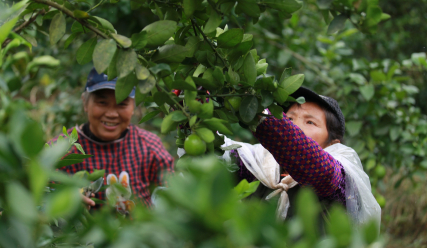 Corona comes to the aid of China's struggling lime farmers